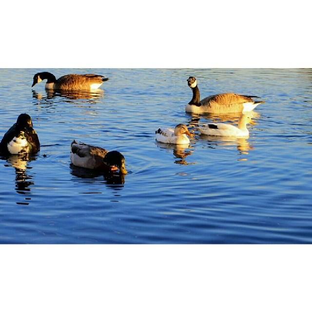 #wildlife #ducks
